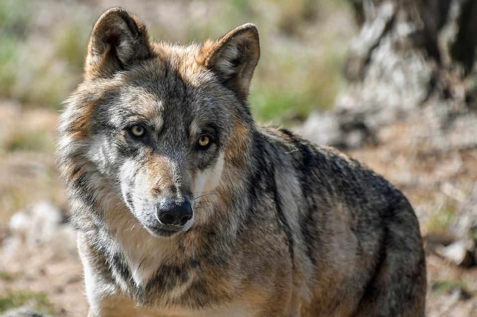 puis-je posséder un loup à mon domicile